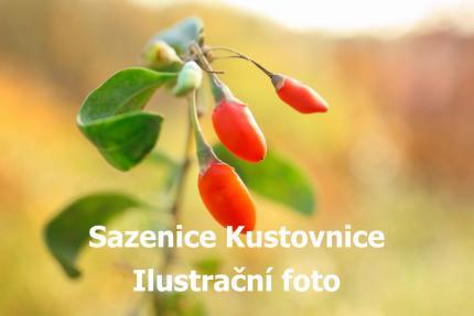 Sazenice kustovnice čínská goji (Lycium chinensis) kelímek 9x9 - Adavo