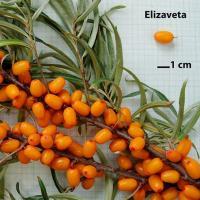 Sazenice rakytník řešetlákový Elizaveta odrůda - kelímek 9x9 - Adavo