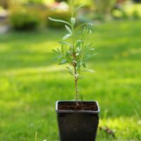 Sazenice rakytník řešetlákový odrůda Klaudie - kelímek 9x9 - Adavo